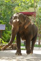 観光用の象