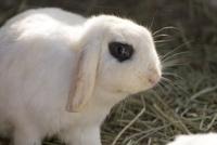 カイウサギ 10131028559  写真素材・ストックフォト・画像・イラスト素材 アマナイメージズ