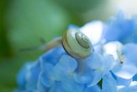 紫陽花とカタツムリ 10131035985| 写真素材・ストックフォト・画像・イラスト素材|アマナイメージズ
