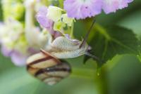 紫陽花とカタツムリ 10131035986| 写真素材・ストックフォト・画像・イラスト素材|アマナイメージズ