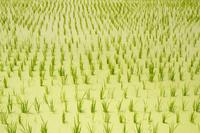 水草稲作の有機農法
