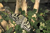 オオゴマダラ 10131036206| 写真素材・ストックフォト・画像・イラスト素材|アマナイメージズ