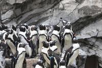 フンボルトペンギンの群れ