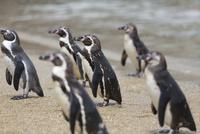 ビーチにいるフンボルトペンギン 10131036851| 写真素材・ストックフォト・画像・イラスト素材|アマナイメージズ