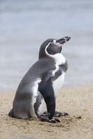 ビーチにいるフンボルトペンギン