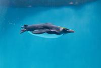 水中を行くマカロニペンギン