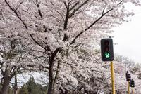 ハグレー公園の道沿いに咲く桜