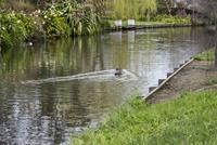 小川を泳ぐ鴨