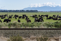 鉄道脇の牧場に散らばっている牛たち
