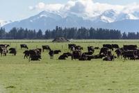囲みの中で寝そべる牛たち