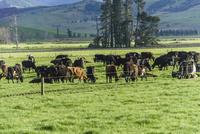平野部の牛の牧場