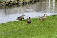小川の岸辺で遊ぶ鴨
