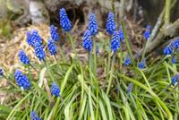 庭に咲く青い花を付けたラベンダー 10131037443| 写真素材・ストックフォト・画像・イラスト素材|アマナイメージズ