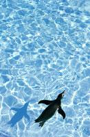 海を泳ぐペンギン