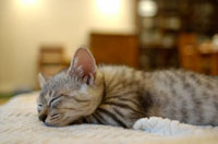 毛布の上で眠る仔猫