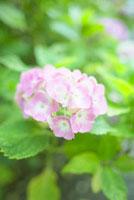 紫陽花 10132008913| 写真素材・ストックフォト・画像・イラスト素材|アマナイメージズ