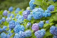 紫陽花 10132008925| 写真素材・ストックフォト・画像・イラスト素材|アマナイメージズ