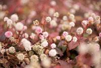 ピンクの多肉植物