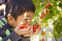 トマトと子供の手 10132113437| 写真素材・ストックフォト・画像・イラスト素材|アマナイメージズ