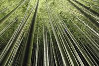 嵐山花灯路と竹林