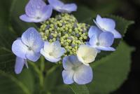紫陽花 10133002792| 写真素材・ストックフォト・画像・イラスト素材|アマナイメージズ