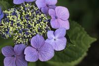 紫陽花 10133002793  写真素材・ストックフォト・画像・イラスト素材 アマナイメージズ