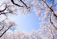桜の林 10134000042| 写真素材・ストックフォト・画像・イラスト素材|アマナイメージズ