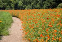 花畑の道 10134001045| 写真素材・ストックフォト・画像・イラスト素材|アマナイメージズ