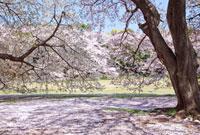 桜と青空 10134001784| 写真素材・ストックフォト・画像・イラスト素材|アマナイメージズ