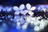 紫陽花と玉ボケ