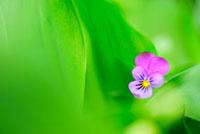 新緑の葉とビオラ