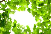 新緑のイチョウと眩しい空