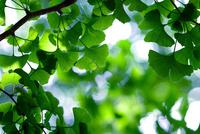 新緑のイチョウの葉と木漏れ日