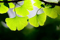 新緑のイチョウの葉のクローズアップと木漏れ日