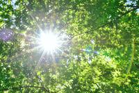 新緑のカエデと眩しい陽射し
