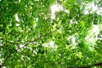 新緑のイチョウと木漏れ日