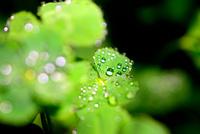 緑鮮やかなクローバーと水滴の輝き