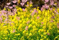 紅枝垂れ桜と菜の花 10140000223| 写真素材・ストックフォト・画像・イラスト素材|アマナイメージズ