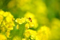 菜の花とミツバチ 10140000253| 写真素材・ストックフォト・画像・イラスト素材|アマナイメージズ