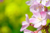 紅しだれ桜と菜の花の背景 10140000278| 写真素材・ストックフォト・画像・イラスト素材|アマナイメージズ