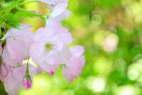 一輪の桜のクローズアップ 10140000303| 写真素材・ストックフォト・画像・イラスト素材|アマナイメージズ