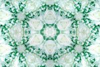 白いバラの花(万華鏡) 10141000487| 写真素材・ストックフォト・画像・イラスト素材|アマナイメージズ