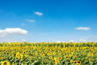 青空とひまわり畑