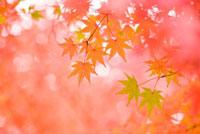 艶やかなもみじの風景 10143000688| 写真素材・ストックフォト・画像・イラスト素材|アマナイメージズ