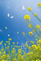 青空と数匹の舞う蝶と菜の花