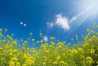青空と日差しと舞う蝶と菜の花