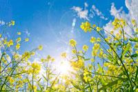 青空と日差しを浴びる菜の花アップ