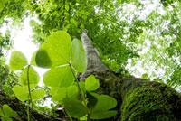 新緑の巨木の根元から見上げる