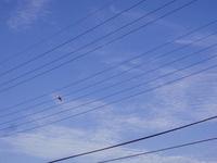 電線に佇むハト