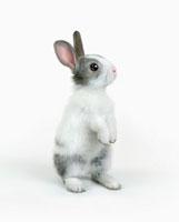 立ち上がるポーズのウサギ 10144000622| 写真素材・ストックフォト・画像・イラスト素材|アマナイメージズ